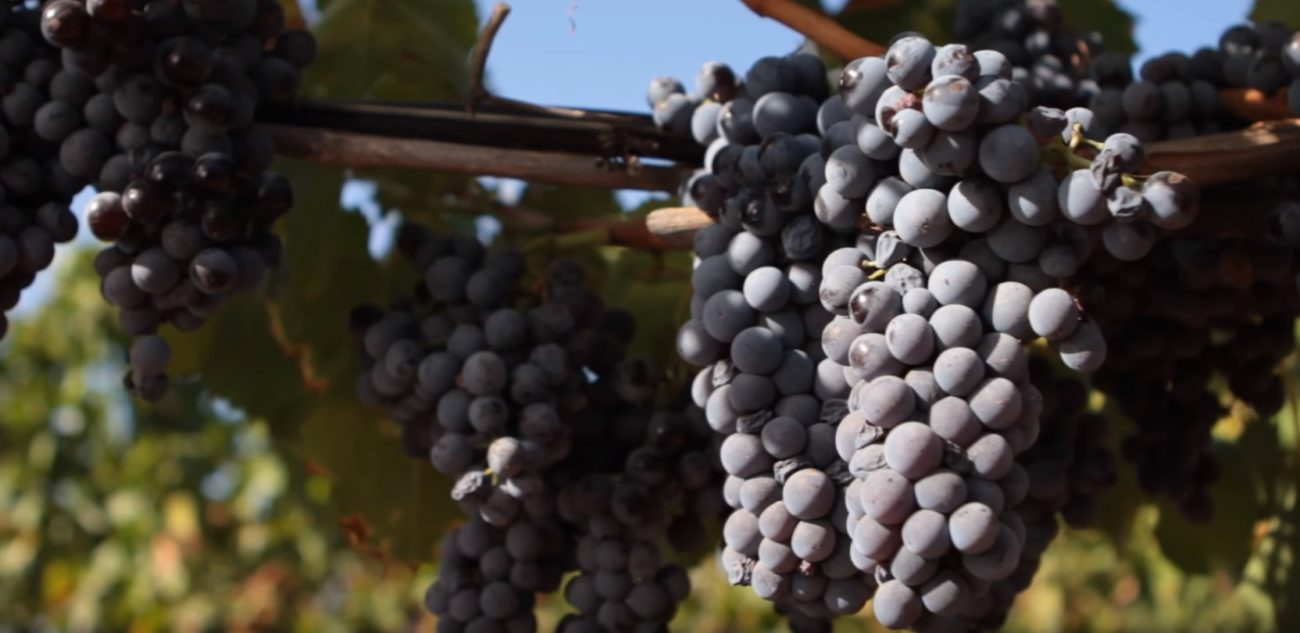 Cantina della Trexenta: from Nasco to Carignano, from indigenous to international varieties