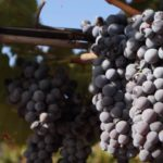Cantina della Trexenta: dal Nasco al Carignano, dai vitigni autoctoni a quelli internazionali